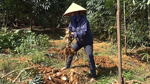 Bà con nhân dân xã Chương Xá tập trung thu hoạch sắn