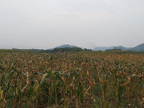 Nông dân xã Cấp Dẫn tập trung thu hoạch cây ngô.