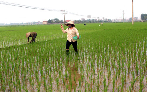 Nông dân xã Minh Tân tập trung các biện pháp kỹ thuật  đẩy mạnh chăm sóc lúa Xuân ngay từ đầu vụ