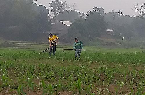 Nông dân xã Cấp Dẫn tập trung chăm sóc cây ngô.